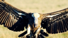 TED: Munir Virani: Why I love vultures - Munir Virani (2012)